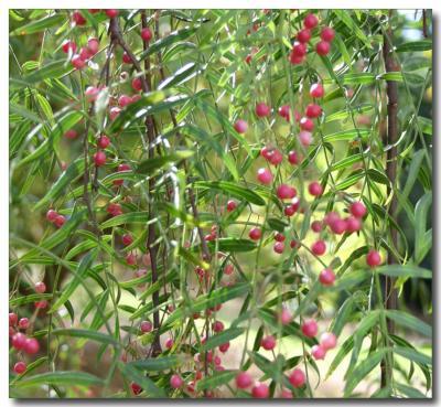 Peppertree berries