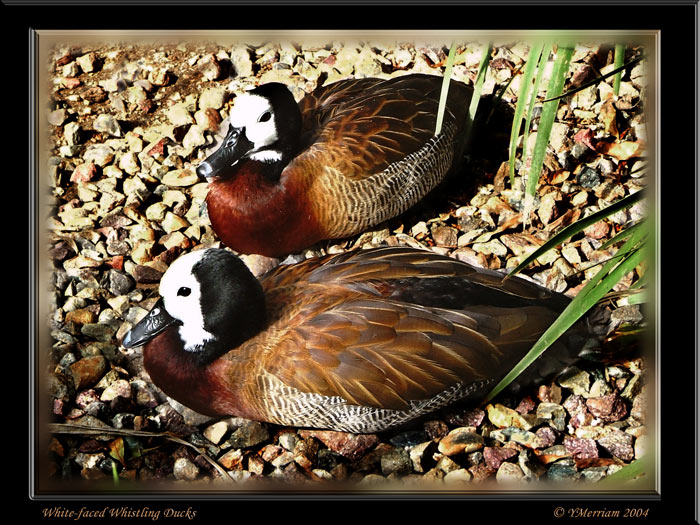 White -faced Whistlers