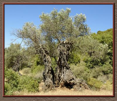 Ancient olive