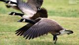 Geese taking flight bird stock photo