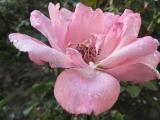 Next morn' a flower in Kalehan Hotel's garden