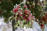 tree ripened, frozen berries