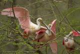 Roseate Spoonbill Threesome.jpg