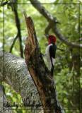 Red headed woody-apr-05.jpg