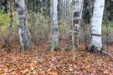 Four Birches.jpg