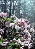 Mountain Laurel at Cherry Springs