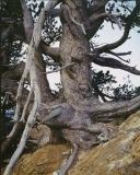 The oldest tree in Alberta, 1100+ years, Whirlpool point