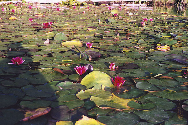 Waterlilies. Dutch Lake, Clearwater B.C