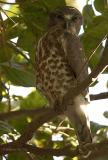 Brown Hawk Owl.jpg