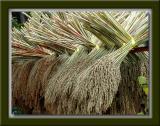 Drying Sorghum Grass