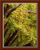 Gingko Tree Nuts