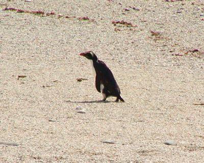 Fjiordland Crested Penguin