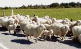 Ubiquitous sheep