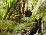 Kai ora - Tree Fern fiddlehead