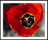 4/17/05 - A Tulip is not a Roseds20050416_0018awF Tulip.jpg