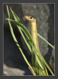 garter_snakes