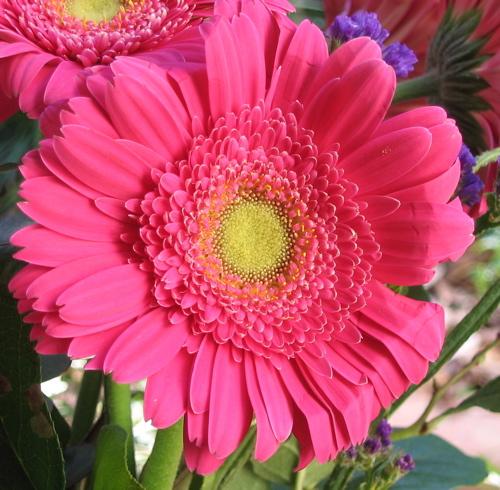 Pink Gerber.jpg