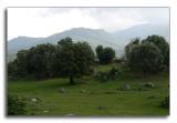 Olive trees ...
