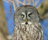 Great Gray Owl --- Wink.