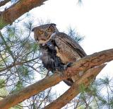 Great Horned Owl with crow