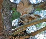 Great Horned Owl dangling crow over 2 owlets on nest