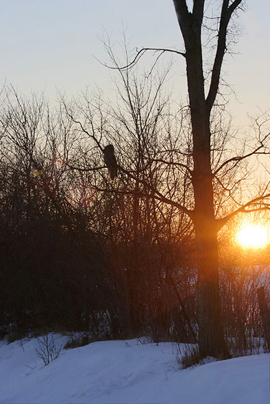 Great Gray Owl at sunset