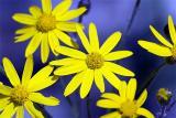 So. IL Wildflowers