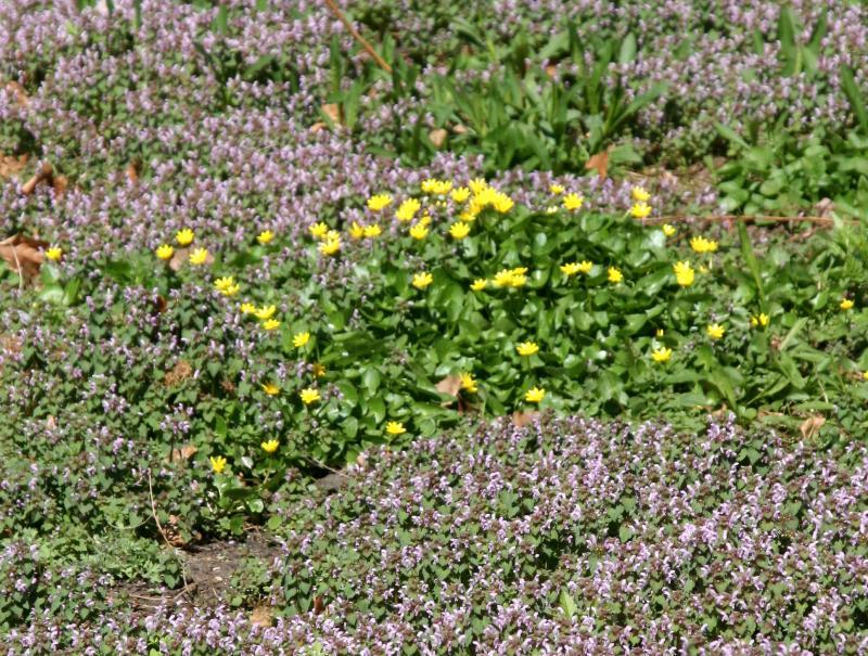 Cowslip or Marsh Marigolds & Lamium