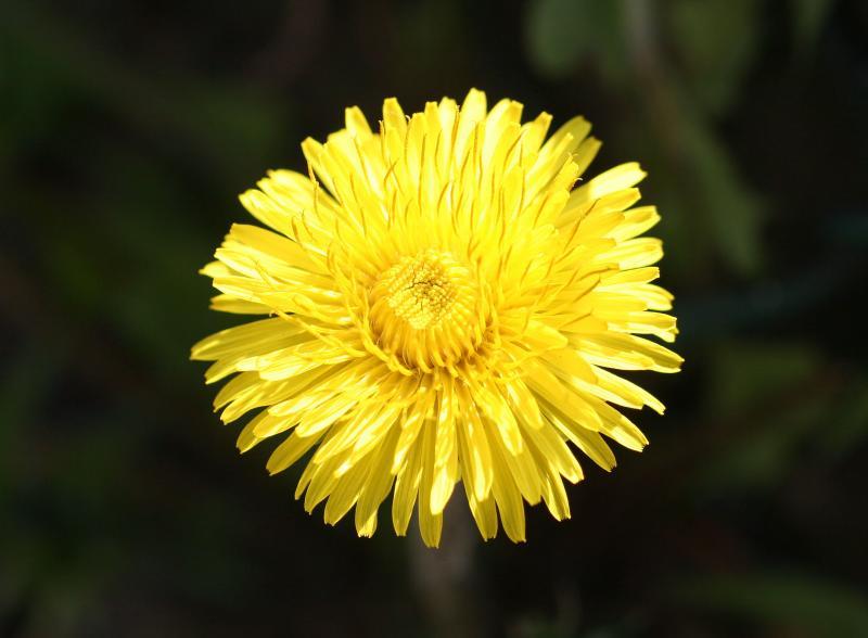Dandelion