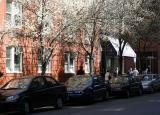 Pear Trees on Washington Place