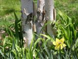 Daffodils at the Foot of a Birch Tree
