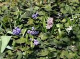 LaGuardia Place Gardens - Hyacinth & Ivy