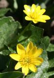 Caltha or Marsh Marigolds