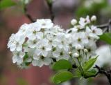 PearTree Blossoms - LaGuardia Place Gardens