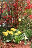 Quince & Tulips - LaGuardia Corner Community Garden