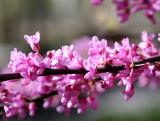 Cercis or Red Bud Tree Blossoms