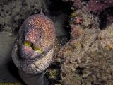 Yellow mouth Moray Eel