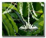 ButterflyOnSourwood.jpg