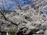 Cherry trees in Geumsansa Temple