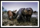 Pig 20050129 3