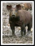 Pig 20050129
