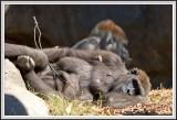 Gorilla laying - IMG_0996.jpg