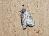 Frigid Owlet Moth (Nycteola frigidana)