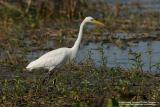 Great Egret   Scientific name - Egretta alba modesta   Habitat - Uncommon in a variety of wetlands from coastal marshes to ricefields.  [Sigma 300-800 DG]