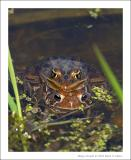Northern Leopard Frog sitting on American Toad