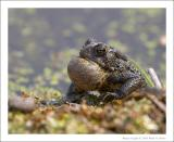 American Toad - 2