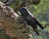 Red-tailed Black-Cockatoo Calyptorhynchus banksii