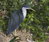 Crested-Heron-4609.jpg