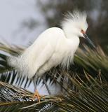 Snowy Egret windblown in breeding plumage