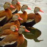 Black-Bellied Whistling Ducks 7564